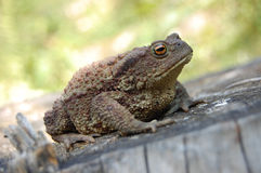 Bufo bufo Royalty Free Stock Image