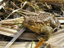 Bufo bufo Royalty Free Stock Photo