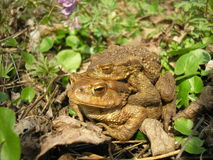 Bufo bufo Royalty Free Stock Photography