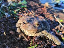 Bufo Bufo. Common toad found in Norway royalty free stock image