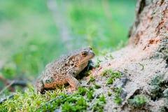 Bufo bufo Common Toad. Common toad bufo bufo in mossy natural surroundings stock images