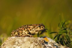 Bufo bufo The common toad, European toad Royalty Free Stock Photos