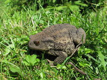 Bufo bufo Royalty Free Stock Photos