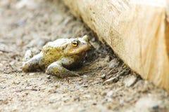 Bufo bufo frog Royalty Free Stock Image