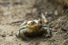 Bufo bufo frog Stock Photography