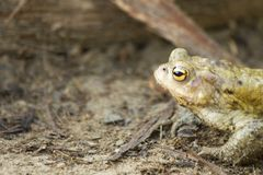 Bufo bufo frog Royalty Free Stock Photography