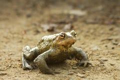 Bufo bufo frog Stock Image