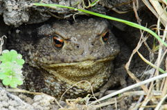 Bufo bufo 2 Stock Photos