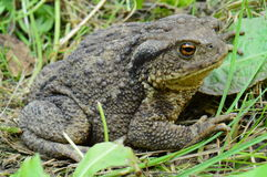 Bufo bufo 1 Royalty Free Stock Photo