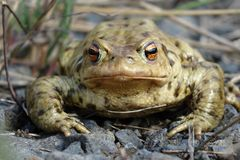 Bufo bufo portrait Royalty Free Stock Image