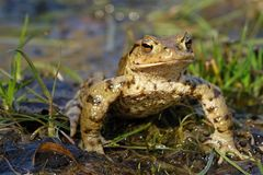 Bufo bufo portrait Stock Photography