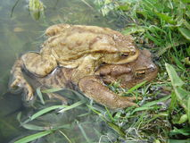 Bufo bufo - Reproduction Stock Photography