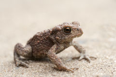 Bufo bufo in sandy background. young gray toad. Stock Image