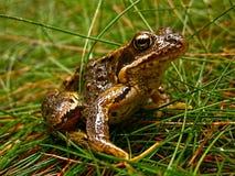 Bufo bufo. Shot of toad frog - bufo bufo royalty free stock image
