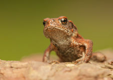 Bufo bufo Royalty Free Stock Images