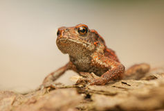 Bufo bufo. The world seen from up close - from a different perspective than usual, it was watching stock photography