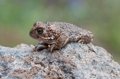 Bufo calamita. A Natterjack Toad sitting on a stone Royalty Free Stock Images