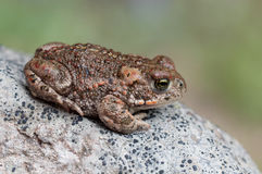 Bufo calamita. A Natterjack Toad sitting on a stone Stock Photos