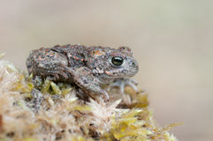 Bufo calamita. A young Natterjack Toad sitting on a stone Stock Photo