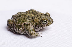 Bufo calamita. Runner toad isolated on white Royalty Free Stock Images