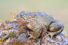 Bufo calamita. A toad called Bufo calamita Stock Photography