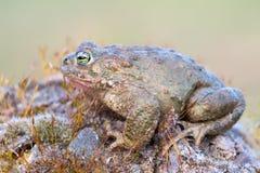 Bufo calamita. A toad called Bufo calamita stock photography