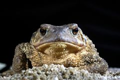 Bufo commun de bufo de crapaud, amphibie images stock