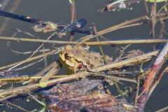Bufo commun de Bufo de crapaud dans une nature Photographie stock