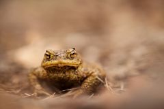 Bufo di Bufo Natura selvaggia Bella maschera Natura della repubblica Ceca Rana A partire da vita della rana animale anfibio Foto  fotografia stock