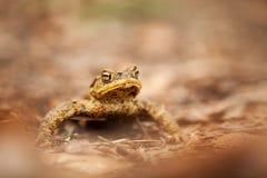 Bufo di Bufo Natura selvaggia Bella maschera Natura della repubblica Ceca Rana A partire da vita della rana animale anfibio Foto  fotografia stock libera da diritti
