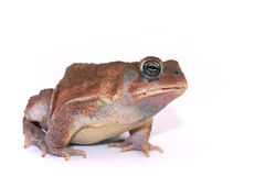 Bufo - toad Royalty Free Stock Images