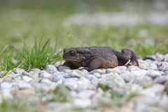 Bufo toad outdoor Royalty Free Stock Images