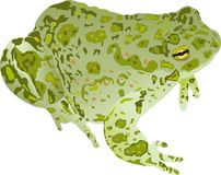 Bufo viridis Stock Photo
