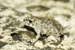 Bufo viridis / european green toad Royalty Free Stock Photos