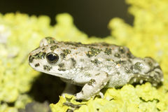 Bufo viridis / european green toad Stock Image