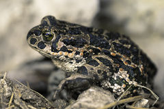 Bufo viridis. European green toad, a species with great chromatic variation found mainly in Europe royalty free stock images