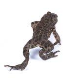 Bufo viridis, European green toad. Stock Photos