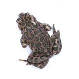Bufo viridis, European green toad. Royalty Free Stock Images