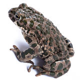 Bufo viridis, European green toad. Toad in studio against a white background. Denisovo. Ryazan region, Pronsky area. Russia stock photography