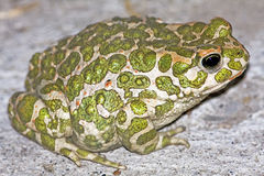 Bufo viridis / green toad Stock Images