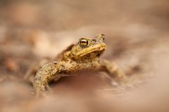 Bufo-bufo Wilde Natur Schöne Abbildung Art der Tschechischen Republik Frosch Vom Frosch-Leben tier amphibie Schönheit einer Lands lizenzfreie stockfotos
