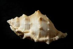 Bufonaria rana (Linneo, 1758) Arkivfoton