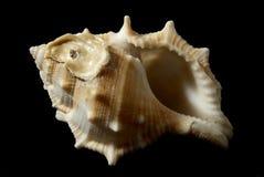 Bufonaria rana (Linneo, 1758) Arkivfoto