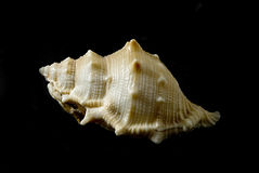 Bufonaria rana (Linneo,1758). Picture of a seashell isolated on black background Stock Photography