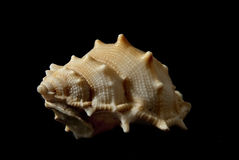 Bufonaria rana (Linneo,1758). Picture of a seashell isolated on black background Stock Images