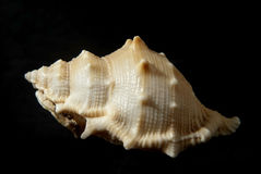 Bufonaria rana (Linneo,1758). Picture of a seashell isolated on black background Stock Photos