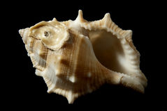Bufonaria rana (Linneo,1758). Picture of a seashell isolated on black background Stock Photo