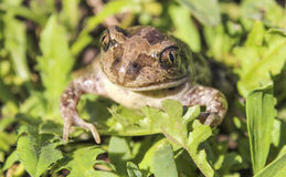 Bufonidae. Toad. Royalty Free Stock Photography