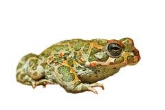 Bufotes-viridis lokalisiert über Weiß lizenzfreie stockfotos
