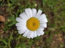 Buftalmo Daisy Geometry immagini stock libere da diritti